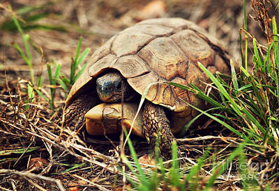 Shell Photograph - Wild Leopard Tortoise Close Up. Tanzania by Michal Bednarek