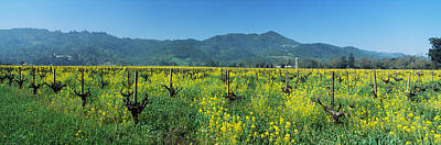 Winemaking Photograph - Wild Mustard In A Vineyard, Napa by Panoramic Images
