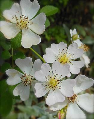 Photograph - Wild Roses by John Norman Stewart