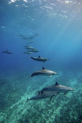 Photograph - Wild Spinner Dolphins by James R.d. Scott