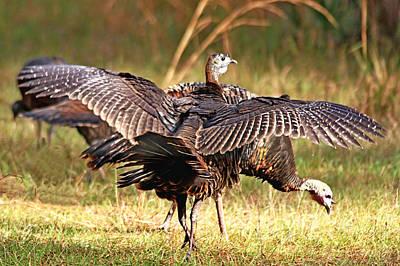 Photograph - Wild Turkey by Ira Runyan