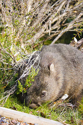 Wildlife Wombat At Lake St Clair National Park  Art Print