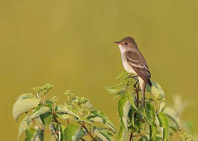 Willow Flycatcher Art Print by Daniel Behm