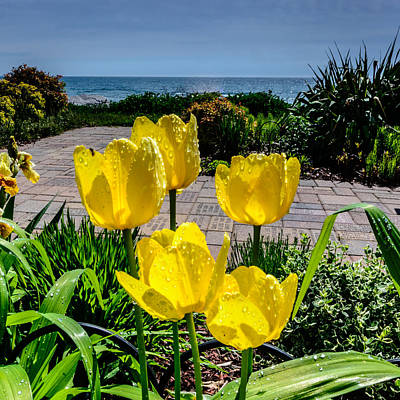 Photograph - Wind Point Tulips by Randy Scherkenbach
