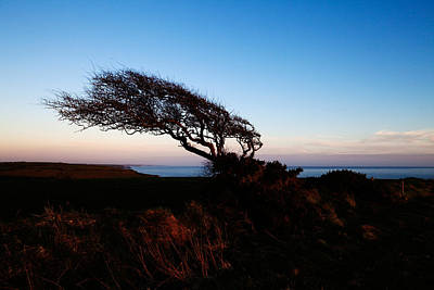 Wind Sculptured Hawthorn Tree, The Art Print