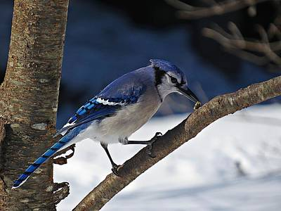 Photograph - Hungry Winter Blue Jay by MTBobbins Photography