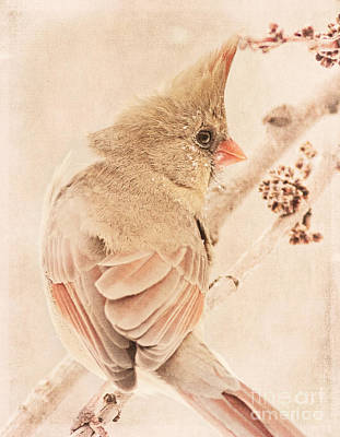Photograph - Winter Cardinal by Pam  Holdsworth
