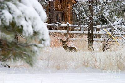 Steven Krull Royalty-Free and Rights-Managed Images - Winter Doe by Steven Krull