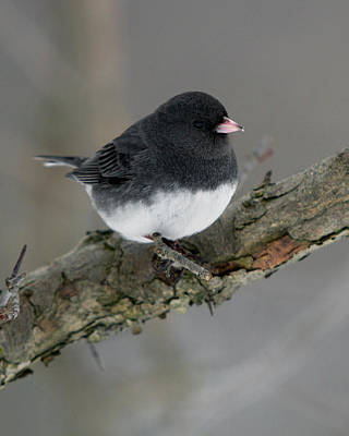 Photograph - Winter Junco by Timothy McIntyre
