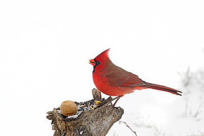 Photograph - Winter Red by Marty Maynard