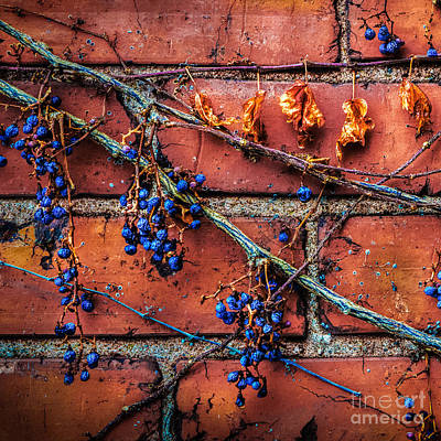 Photograph - Winter Vine by Michael Arend