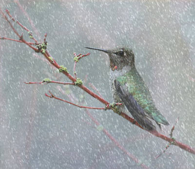 Birds In Snow Wall Art - Photograph - Wintering Hummingbird by Angie Vogel