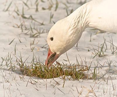 Ganders Photograph - Wintering Snow Goose by Robert Frederick