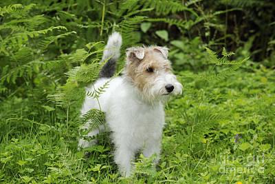 Wire Fox Terrier Art Print by John Daniels