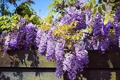 Photograph - Wisteria Garden 8 by Jenny Rainbow