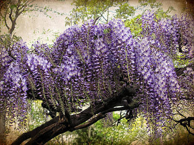 Lavender Digital Art - Wisteria In Bloom by Jessica Jenney
