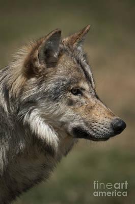 Mammals Photograph - Wolf-animals-image 2 by Wildlife Fine Art