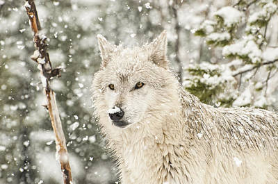 Wolf Photograph - Wolf In Winter by Donna Doherty