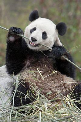 Wolong Reserve, China, Giant Panda Art Print by Alice Garland