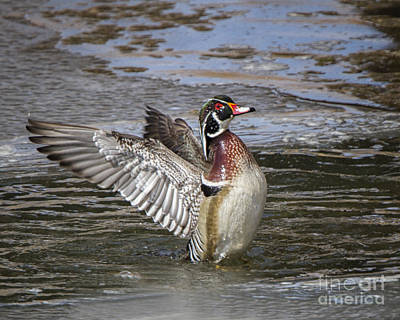 Photograph - Wood Duck Drake Wing Flap by Ronald Lutz