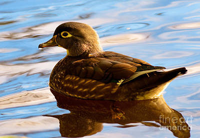 Photograph - Wood Duck On Lost Lagoon by Terry Elniski