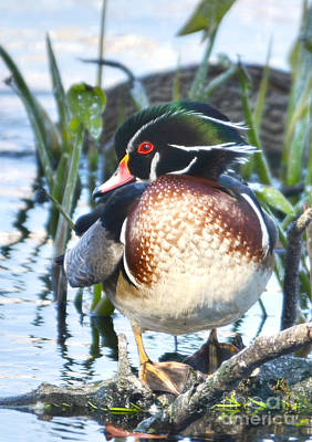 Photograph - Wood Duck Portrait by Kathy Baccari