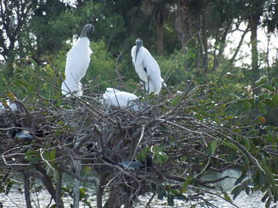 Photograph - Wood Stork Family by Ron Davidson