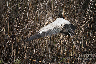Photograph - Wood Stork by Ronald Lutz