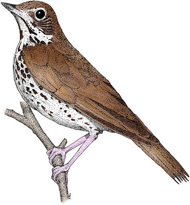 Photograph - Wood Thrush by Roger Hall