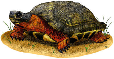 Photograph - Wood Turtle by Roger Hall