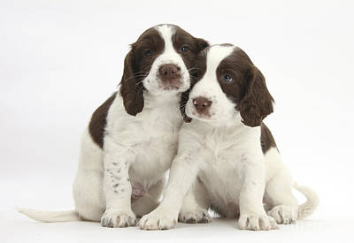 House Pet Photograph - Working English Springer Spaniel Puppies by Mark Taylor
