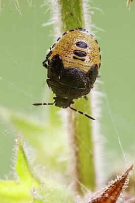 Western Bronze Photograph - Woundwort Shieldbug by Heath Mcdonald
