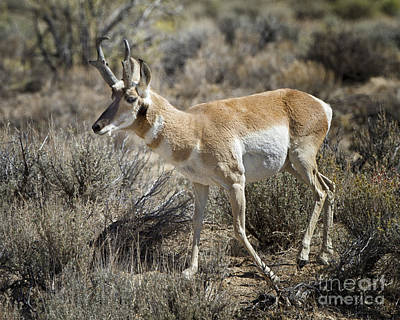 Photograph - Wyoming Pronghorn by Ronald Lutz