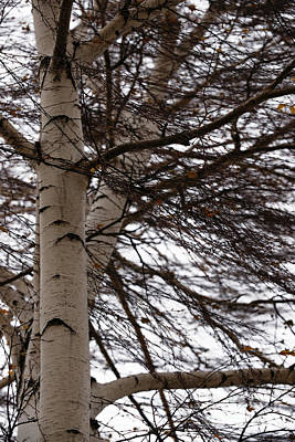 Photograph - Wyoming Winter Birch by Linda Shafer