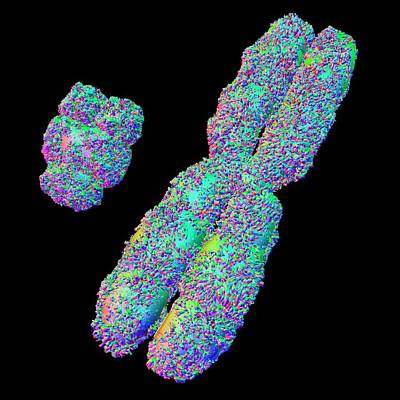 Chromosomes Photograph - X And Y Chromosome by Alfred Pasieka
