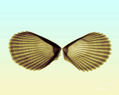 Photograph - X-ray Of Angel Wing Shells by Bert Myers