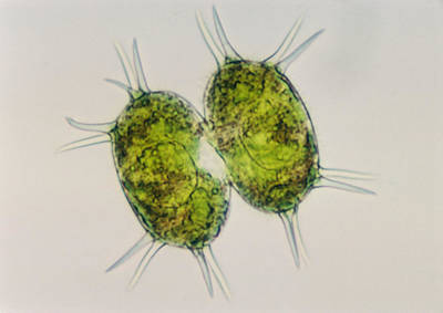 Photograph - Xanthidium Sp. Algae Lm by Winton Patnode