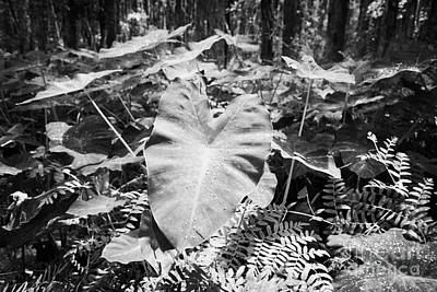 Xanthsoma Elephant Ear Plant Growing In Flooded Wetlands In Florida Usa Art Print