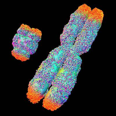 Chromosomes Photograph - Y And X Chromosome With Telomeres by Alfred Pasieka