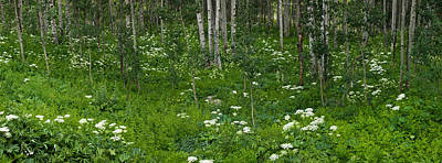 Yarrow Photograph - Yarrow And Aspen Trees Along Gothic by Panoramic Images