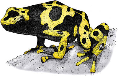 Photograph - Yellow Banded Poison Dart Frog by Roger Hall