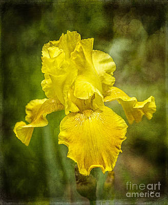 Photograph - Yellow Beauty by Alana Ranney