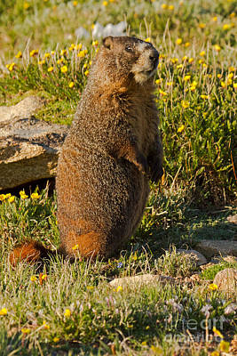 Photograph - Yellow Bellied Marmot On Alert In  Rocky Mountain National Park by Fred Stearns