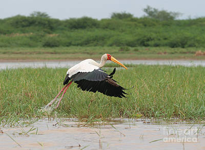 Yellow-billed Stork Mycteria Ibis Art Print