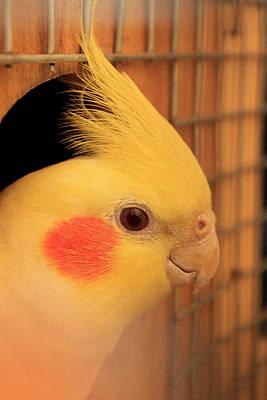 School Teaching - Yellow Cockatiel  by Vijay Sonar