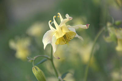 Photograph - Yellow Columbine by Frank Madia