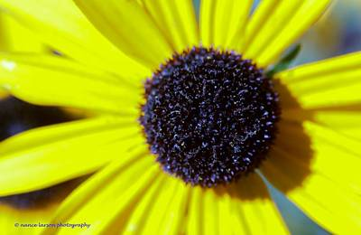 Photograph - Yellow Daisy by Nance Larson