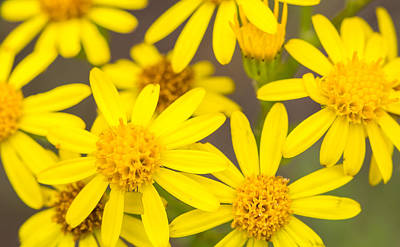 Photograph - Yellow Flowers by Gary Gillette
