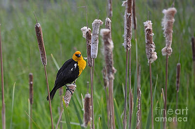 Photograph - Yellow Headed Blackbird by Ansel Price