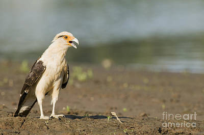 Photograph - Yellow-headed Caracara by Dan Suzio